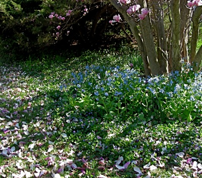 Virginia bluebells (Mertensia virginica) under the Magnolia x soulangiana  already dropping its fat pink petals