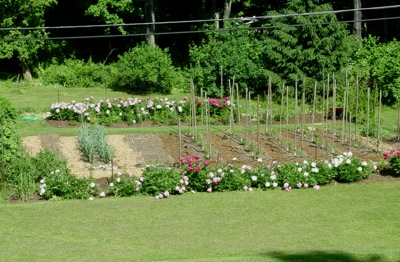 part of our kitchen garden, early June. Inside the fence: garlic on the left, asparagus in back, baby tomatoes at the foot of the stakes.