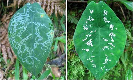 A leaf damaged by mining moths (left) compared to one faking it (right).