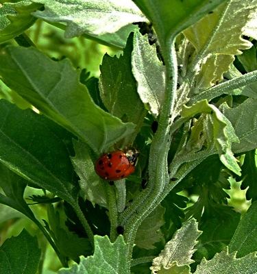 leslie land ladybug-on-lambsquarter