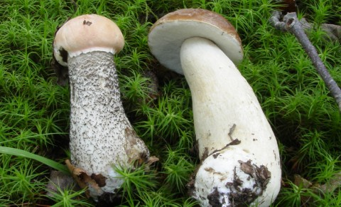 The potentially toxic Leccinum atrostipitatum (left) alongside the Edible Boletus edulis (right).