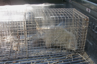 young groundhog in live trap, about to take a trip