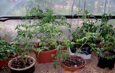 Tomato plants in the greenhouse have so far escaped the blight.