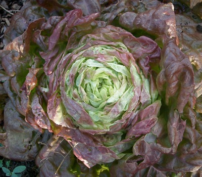 "lettuce 'Merveille de Quatre Saisons,"" popular since the 1880's"