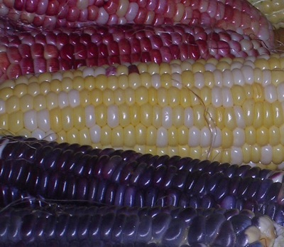 Corn from the days when we grew more kinds. Top to bottom: Ruby Queen, unknown hybrid (seed purchased and name forgotten by Bill), the Black Mexican we still grow, at the cornbread stage