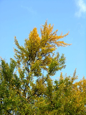 Ginkgo biloba, a late-bloomer in the fall color department