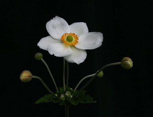 japanese anemone by Hellsgeriatric