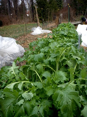 approximately 35 feet of late planted broccoli raab