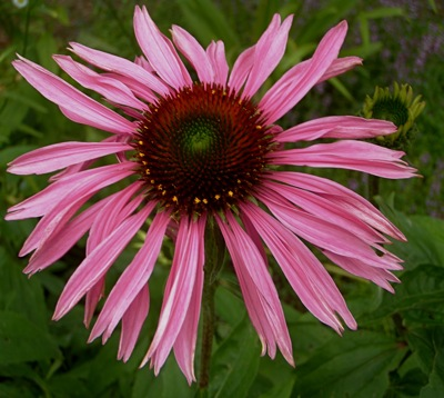 dark pink coneflower