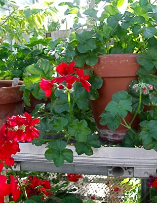 Eric s pet plant geraniums pelargonium species leslie land in kitchen and garden and all - How to care for ivy geranium ...