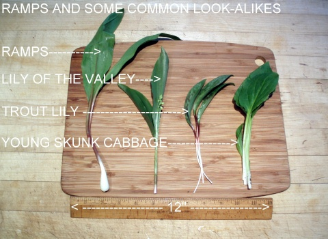 ramps and plants that might be mistaken for them