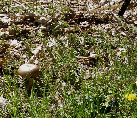 winecap mushroom stropharia rugosoannulata