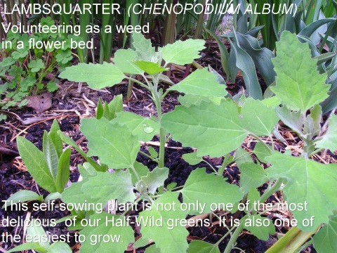lambs quarter( chenopodium album)