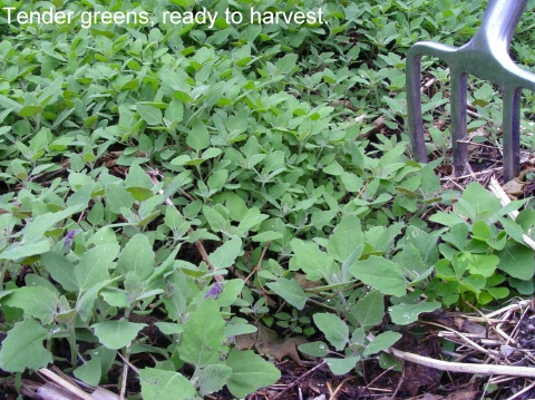 lambs quarter ready to harvest