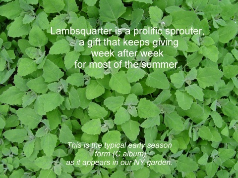 lambs quarter (chenopodium album)