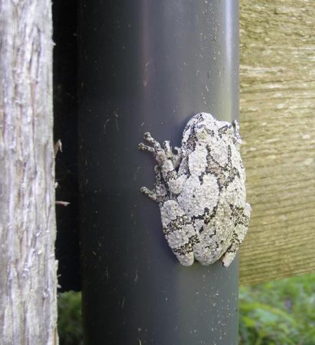 hyla versicolor grey tree frog grey form