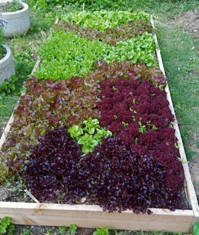assorted lettuce varieties