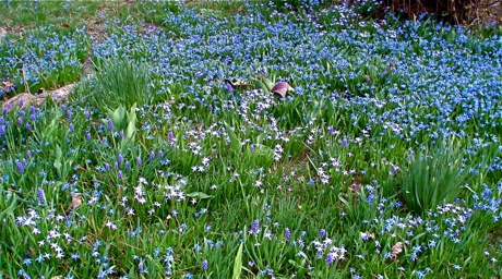 blue bulbs in lawn
