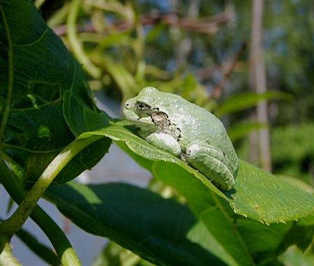 grey treefrog, green form, hyla versicolor