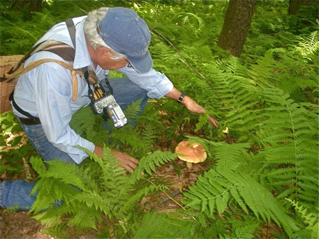 Boletus bicolor in ferns