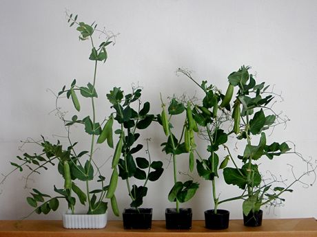 varieties of pea vines, side by side