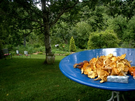 chanterelles on blue table