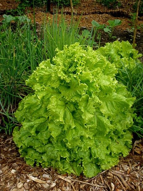 bolting leaf lettuce