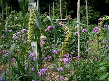 'Limelight' ornamental millet