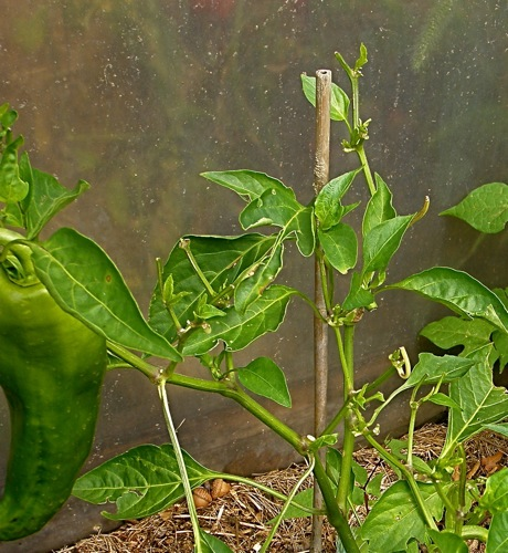 pepper plant with hornworm damage