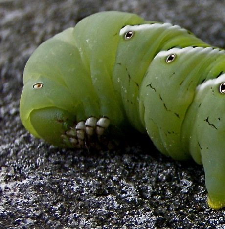 hornworm mouth