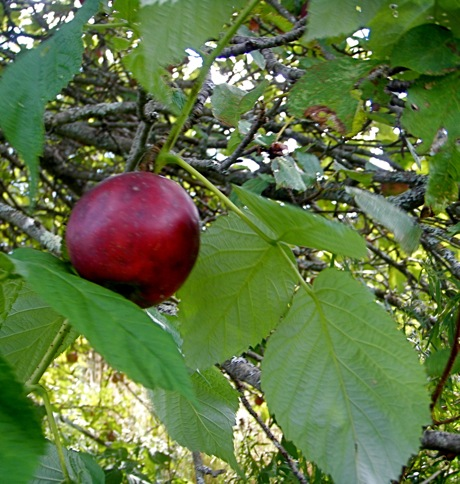 round red apple in tree