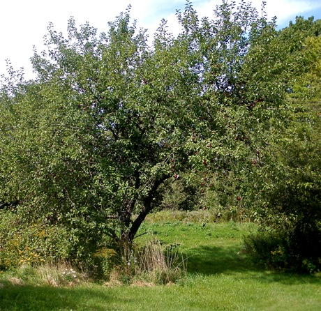 apple trees and field