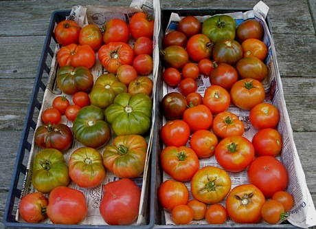 tomatoes, mixed varieties