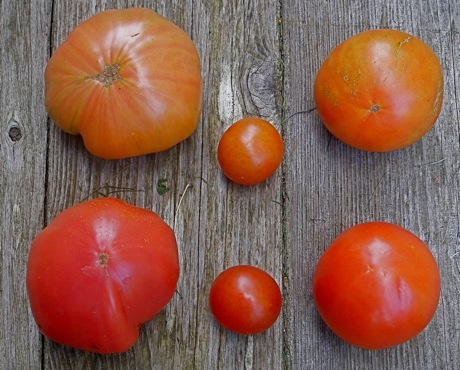 almost-ripe vs ripe tomatoes