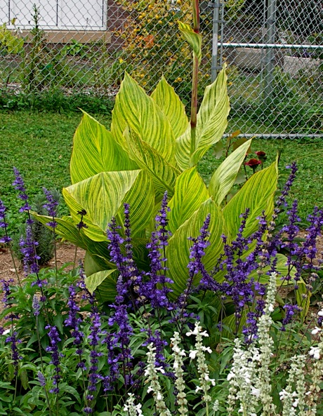 canna pretoria and salvia farinacea victoria blue