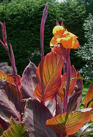 canna tropicana in flower