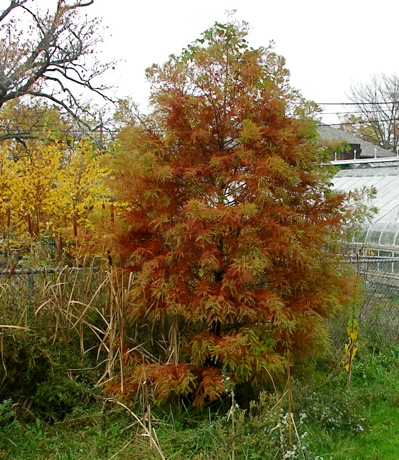 Bald Cypress Taxodium Disti Fall Color