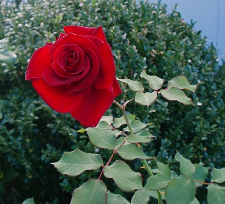 red hybrid tea rose. Mr lincoln???