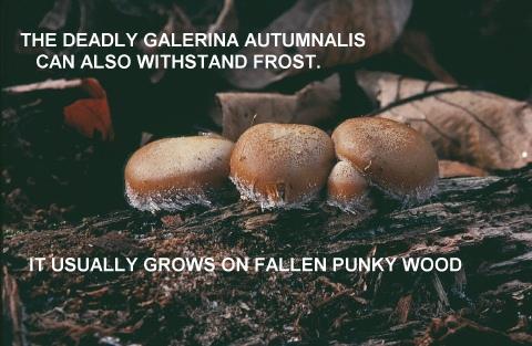 galerina autumnalis, deadly galerina
