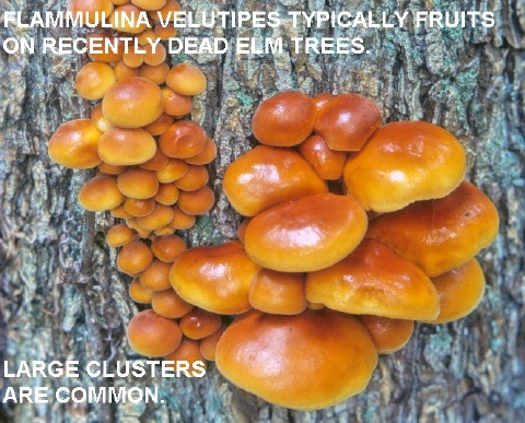 cluster of velvet foot mushroom Flammulina velutipes