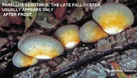 panellus serotinus, winter oyster mushroom