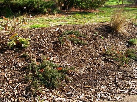 blue rug juniper as erosion control