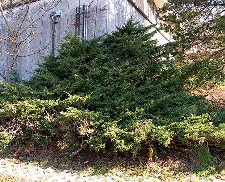 large, spreading Juniperus chinensis