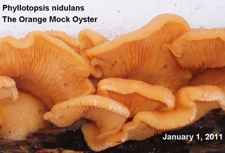 Phyllotopsis nidulans, orange mock oyster