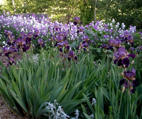 bearded iris and hesperis