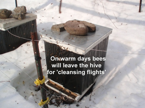winter bees on cleansing flight