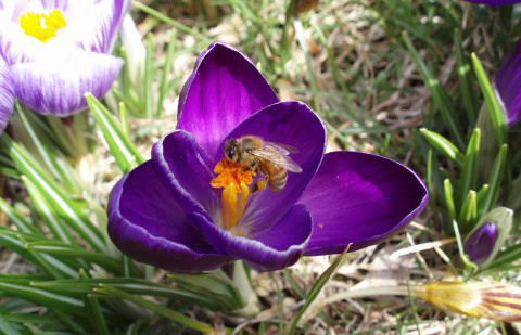 bee on purple crucus