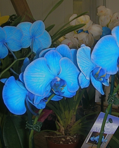 dyed blue orchid
