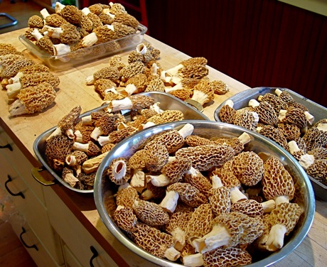 morel mushrooms (morchella esculenta)