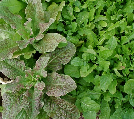 Craciovensis lettuce and arugula